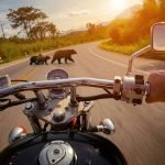 Riders view showing bears in front of motorcycle