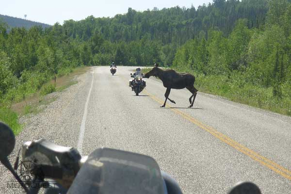 moose motorcycle highway alaska